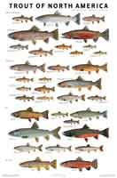 Poster Trout Of North America